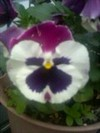 Pansy_01_1
